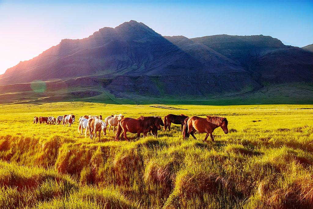 Wild Icelandic horses in the Snæfellsnes Peninsula
