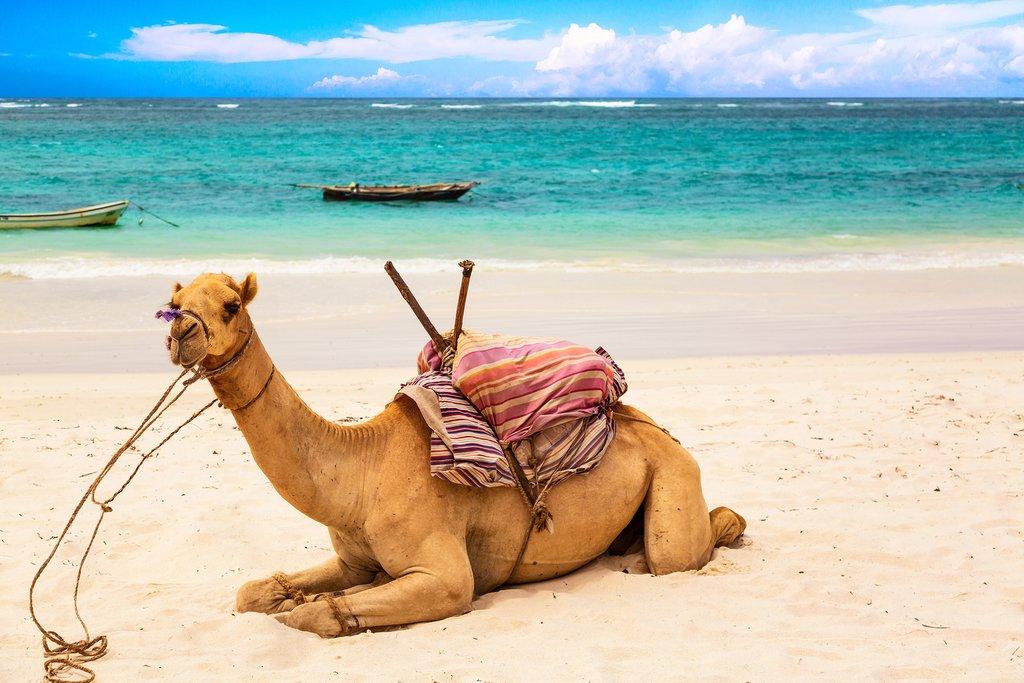 A camel at Diani Beach