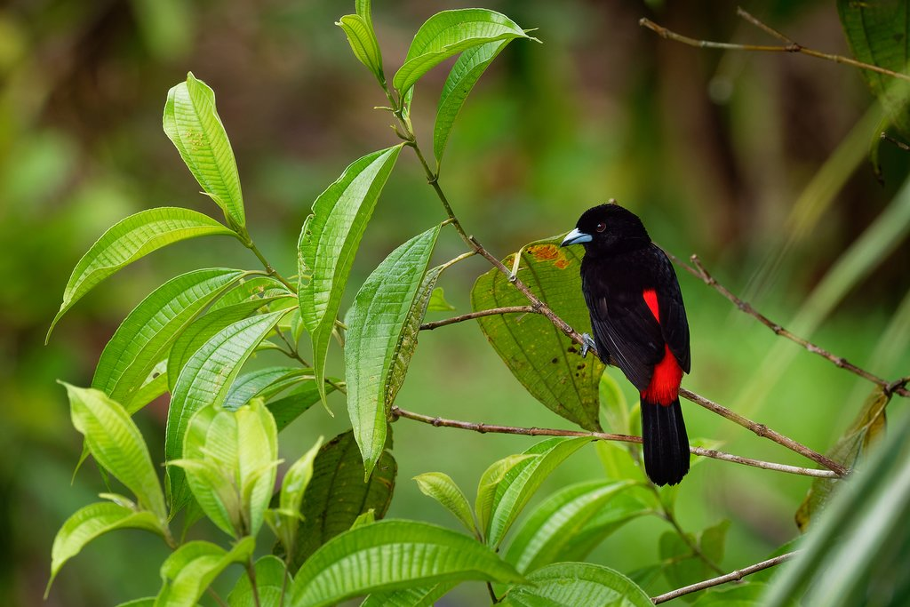 Look for a variety of birds including the scarlet-rumped tanager