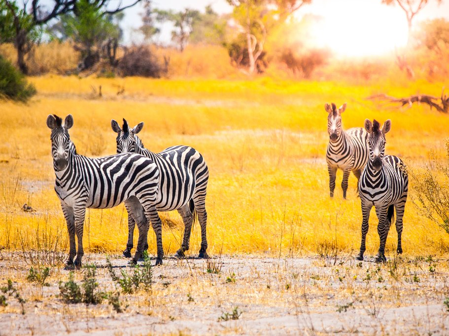 Zebras in the Okavango Delta