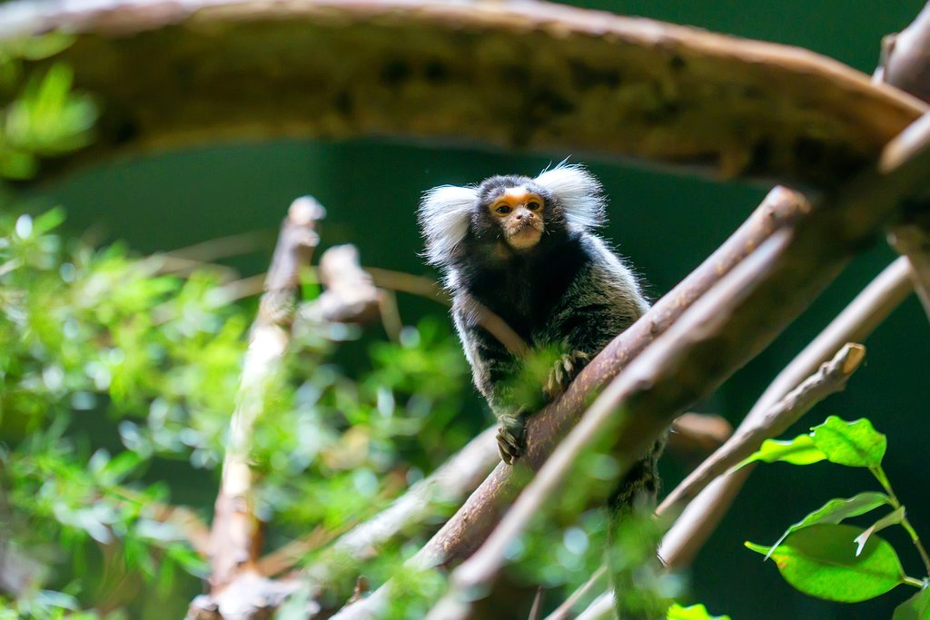 Highly active marmoset monkeys can be spotted on trips into the Ecuadorian Amazon