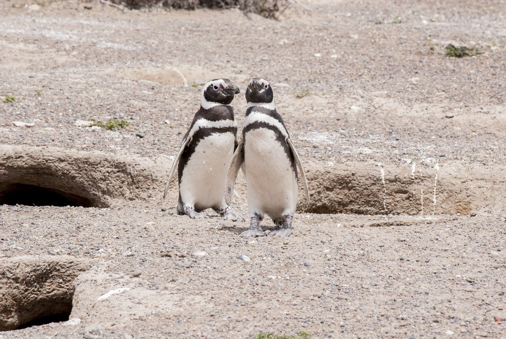 Magellanic Penguins in Punta Tombo