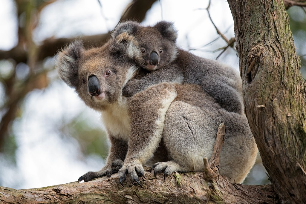 Visit koalas on your Australian family vacation