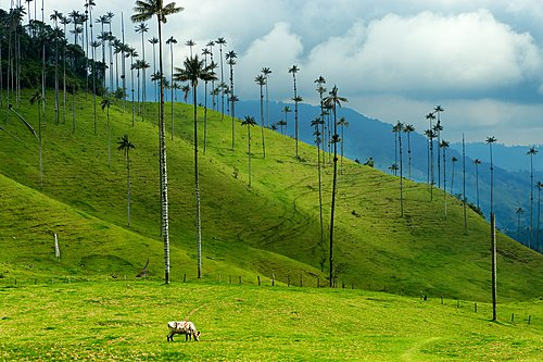 Iconic skinny wax palms in Colombia's coffee region.