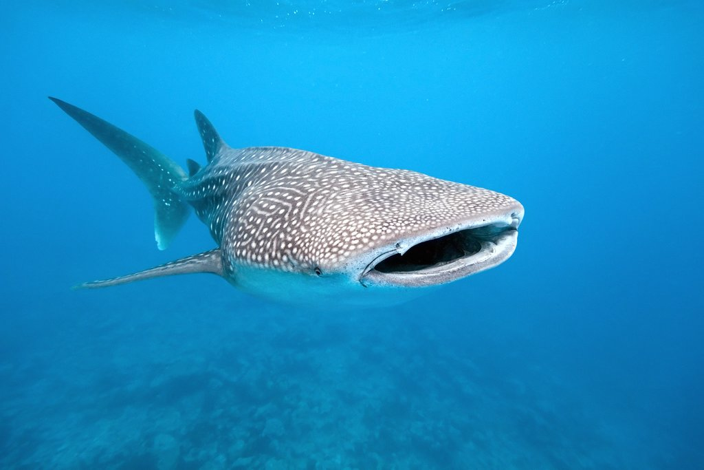 Swim with whale sharks in Donsol