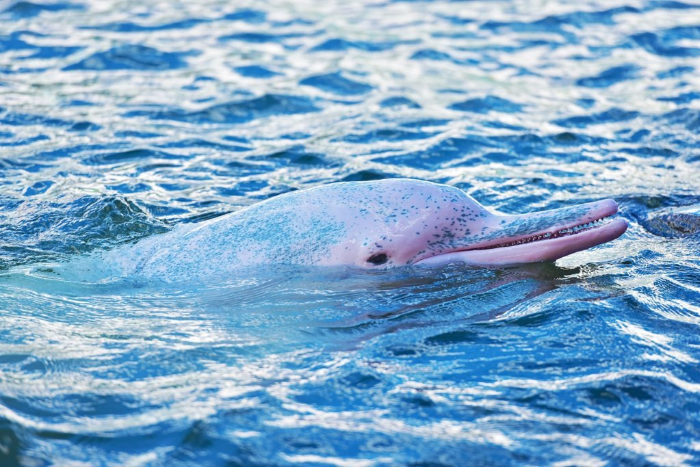 Pink River Dolphin in the Amazon