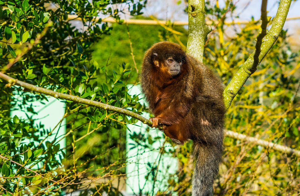Coppery Titi  monkey in the Amazon Forest, Brazil
