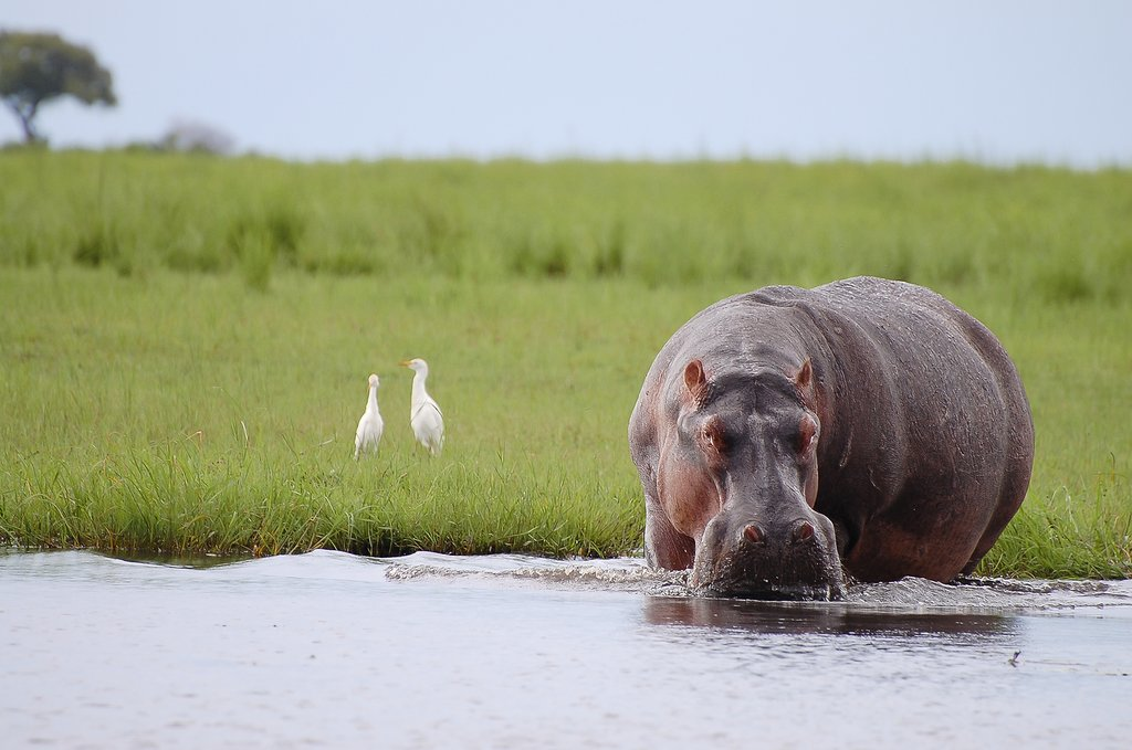 Grazing hippo in Chobe National Park