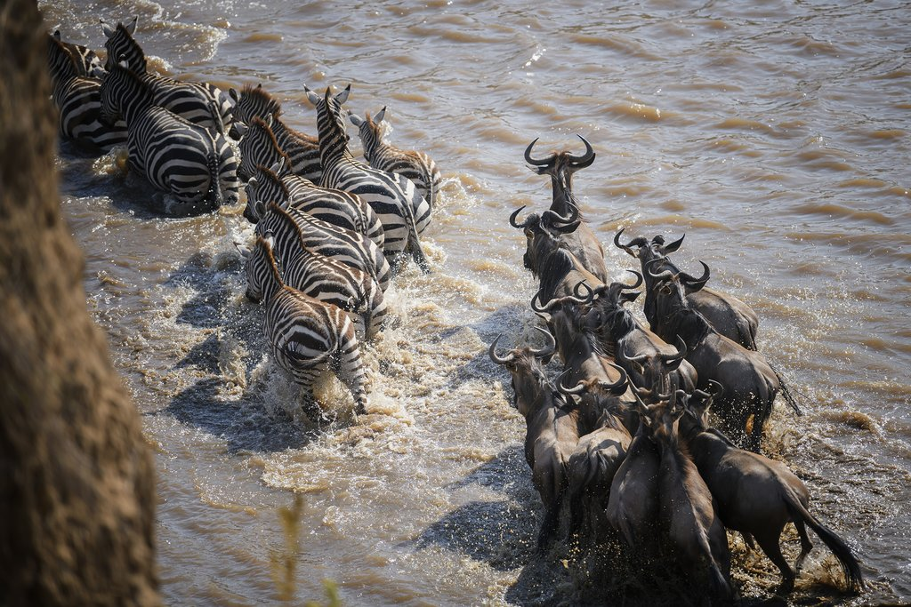 Zebra and Wildebeest on the Mara River