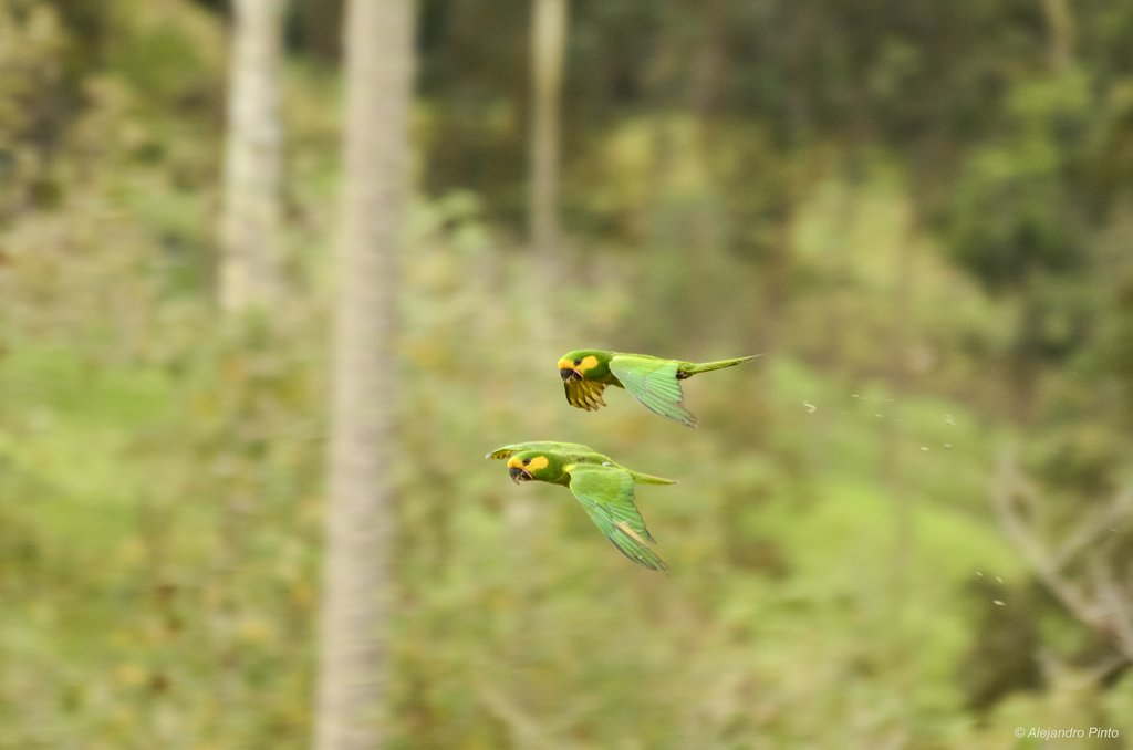 Yellow-eared Parrot, Colombia