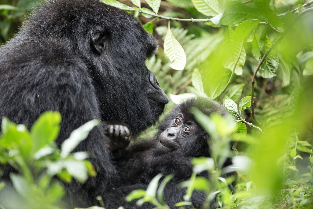 A gorilla with her baby in Rwanda's mountains