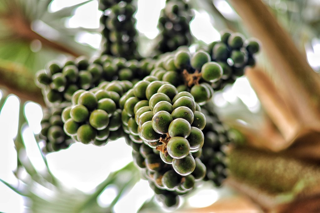 Wine palm fruits