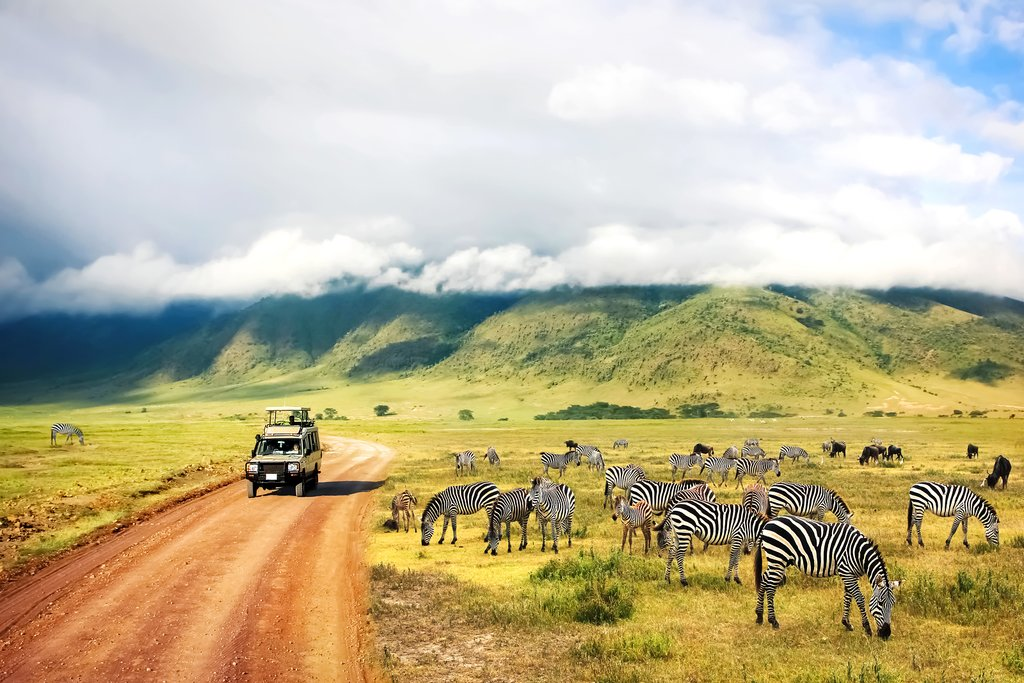 A group of feeding zebras in Serengeti National Park
