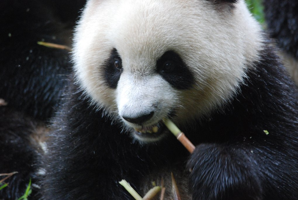 Giant Pandas are a must-see Chinese icon