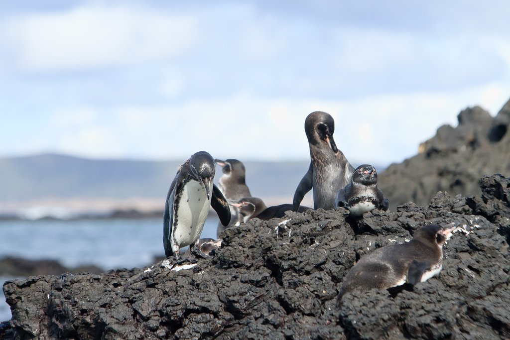 Penguin family on Galapagos Islands