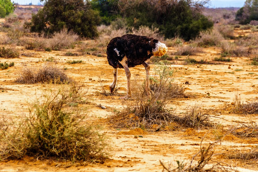 Ostrich snacking