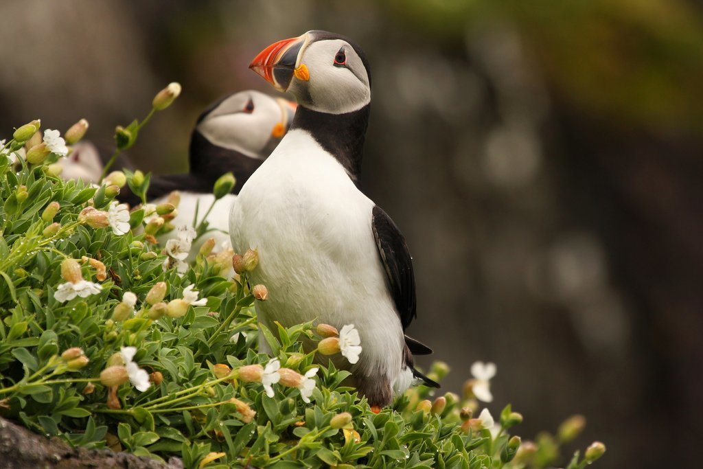 August is the time to visit the puffins of the remote Skellig Islands