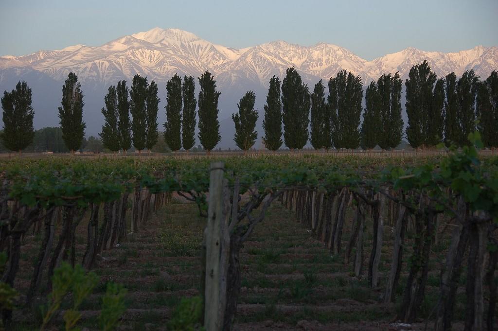 Vineyard in Mendoza Province