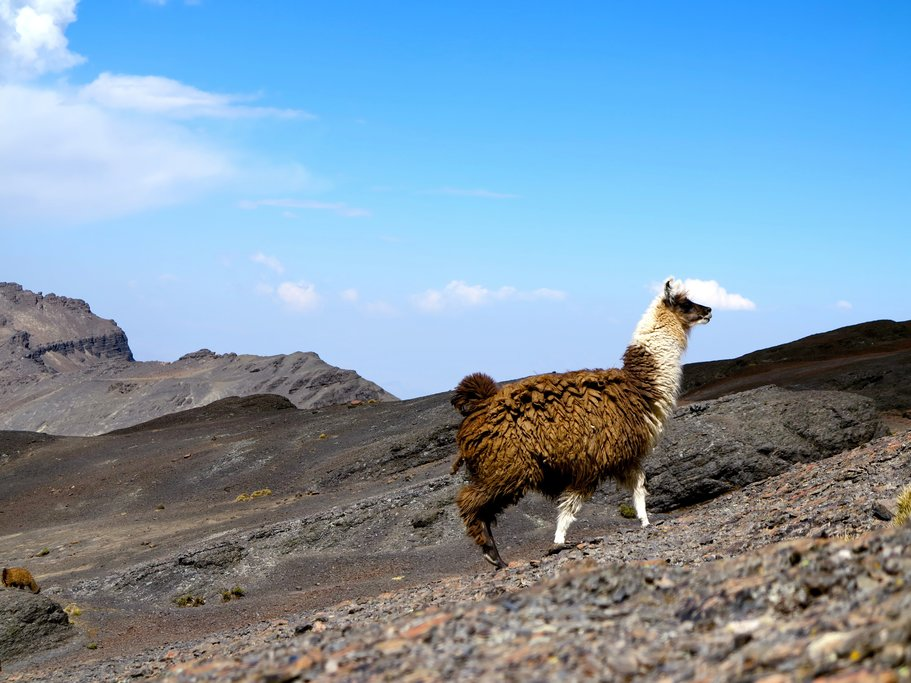 A llama scales the rugged mountains in Potosí