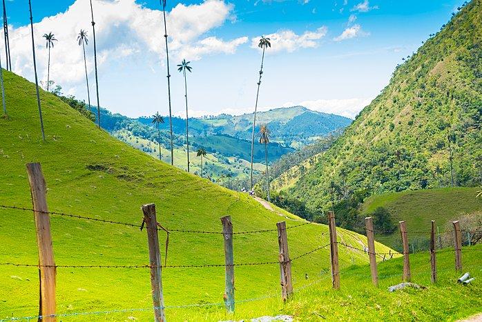 Iconic skinny wax palms in Colombia's coffee region.