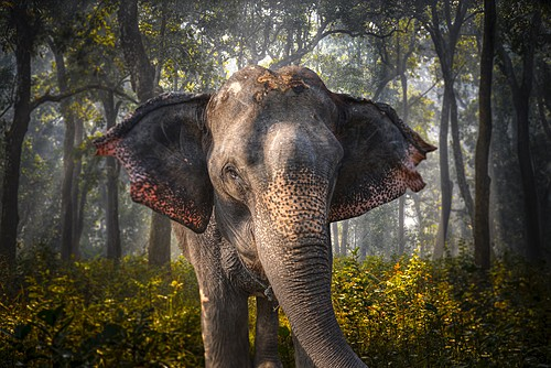 Asian elephant in Chitwan National Park