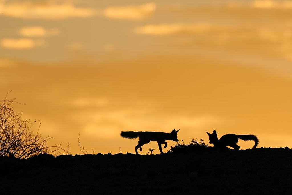 Cape foxes in the Kalahari