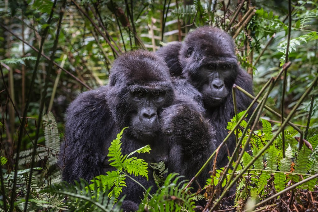 Wild mountain gorillas at Bwindi