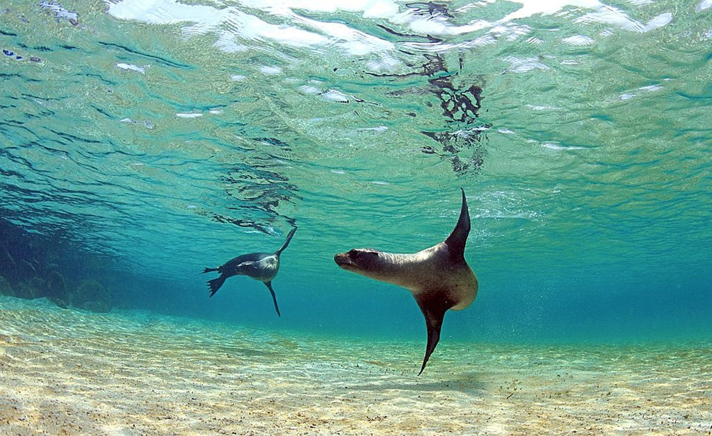 Sea Lions Playing Under the Waves