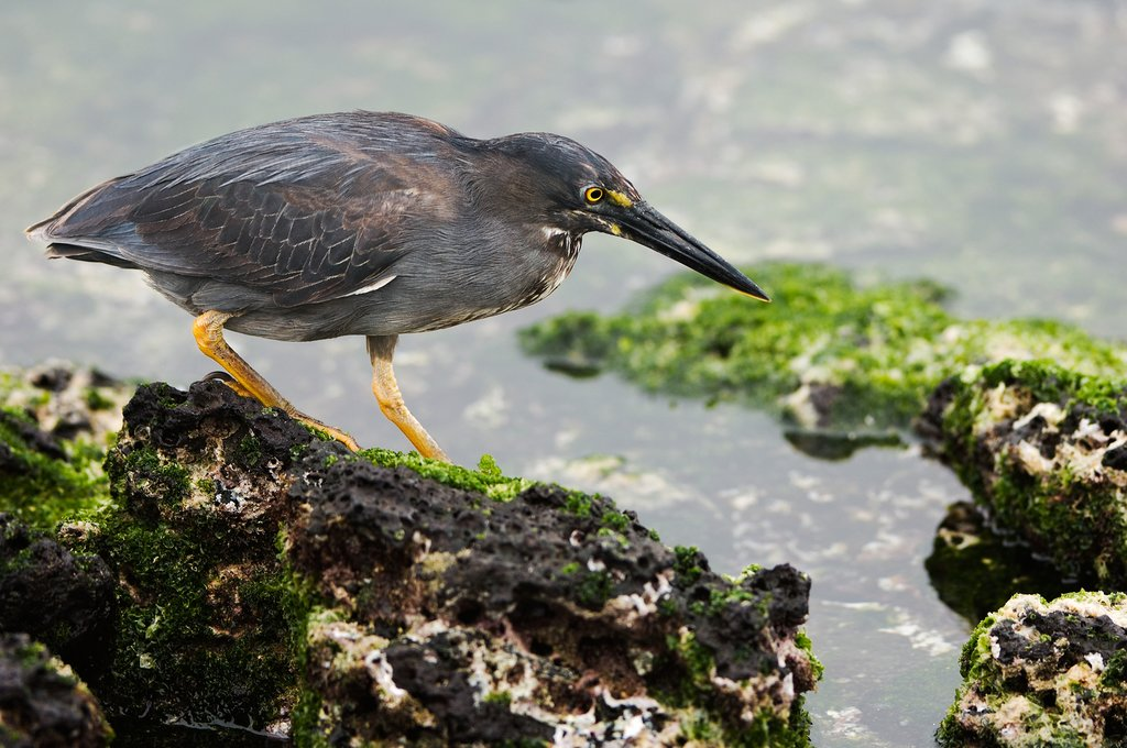 Lava Heron on Galapagos Islands
