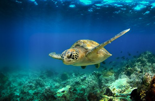 Green turtle swimming underwater in the Galapagos Islands