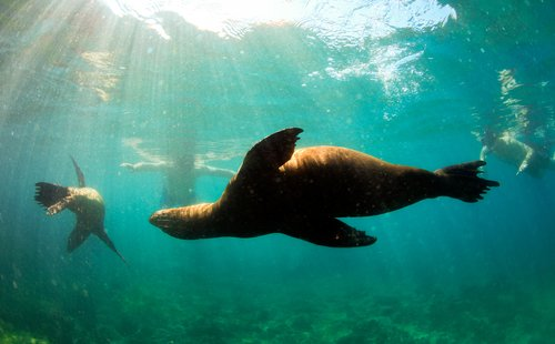 sea lions swimming in the waters of the Galapagos
