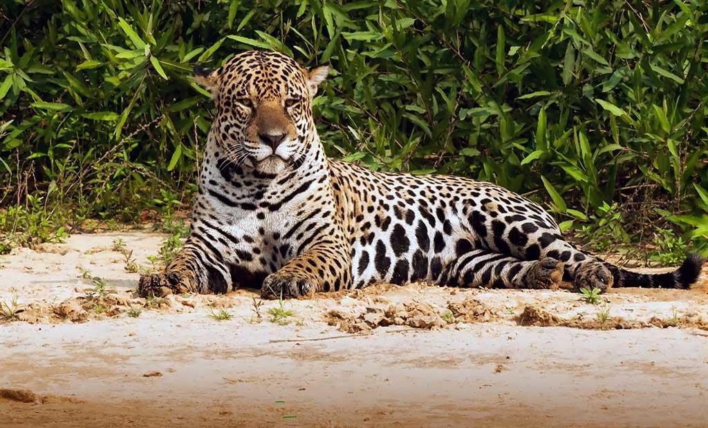 A jaguar in Brazil