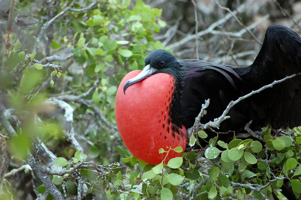 Male frigate bird inflating red pouch on Galapagos Islands