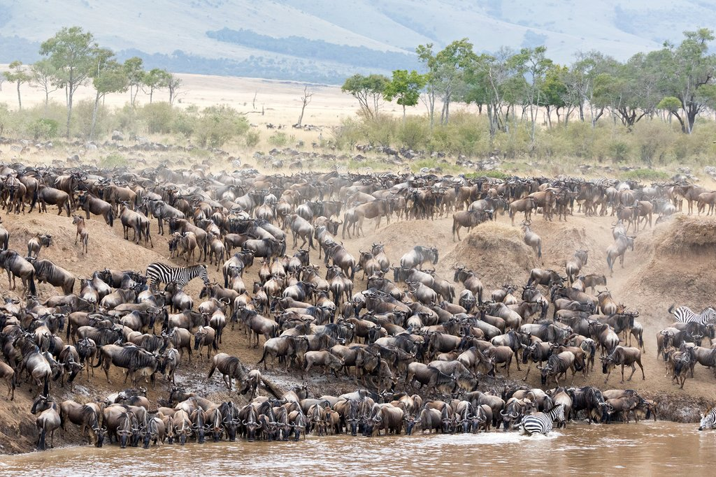 Zebra mingle with thousands of wildebeest on the banks of the Mara River during the great migration. In the Masai Mara, Kenya. Every year 1.5 million wildebeest make the trek from Tanzania to Kenya