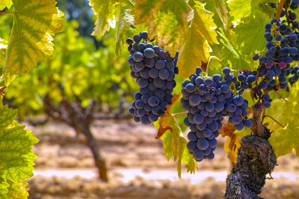 Ripe Wine Grapes in Tuscany