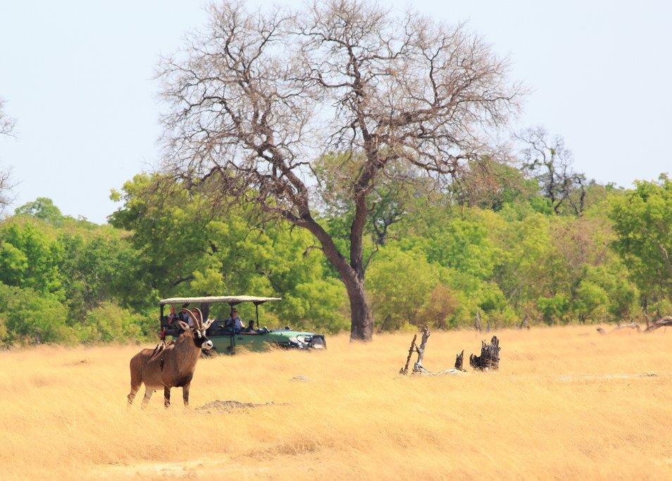 Roaming roan antelope