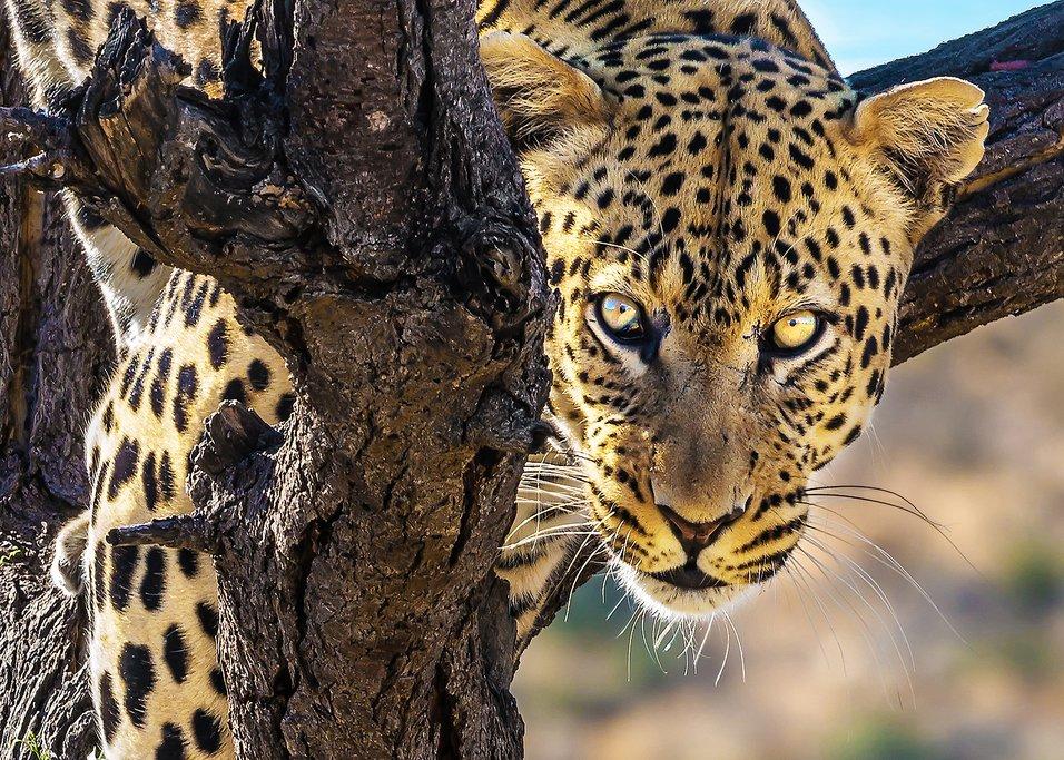 Leopard lurk