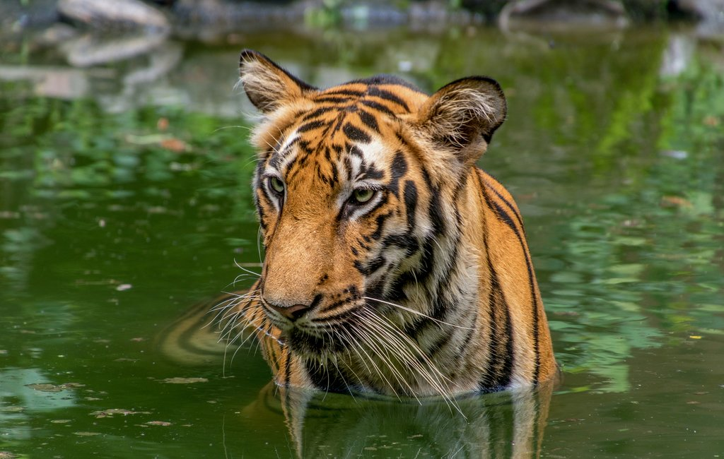 Get up close (but not too close) to the endangered Bengal tiger