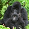 Gorillas in Uganda & Trekking in The Congo - 8 Days