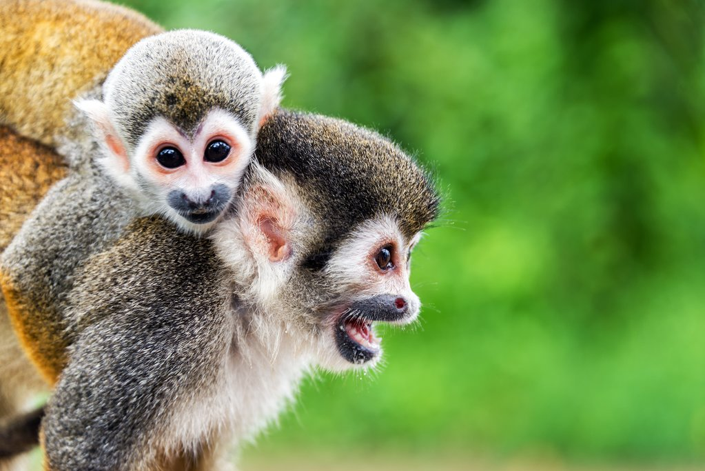 Squirrel monkeys near Leticia