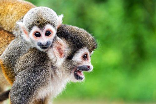 Squirrel monkeys near Leticia