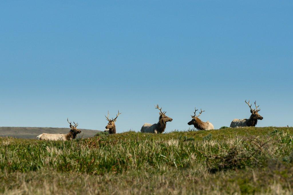Elks on a hill overlooking the ocean