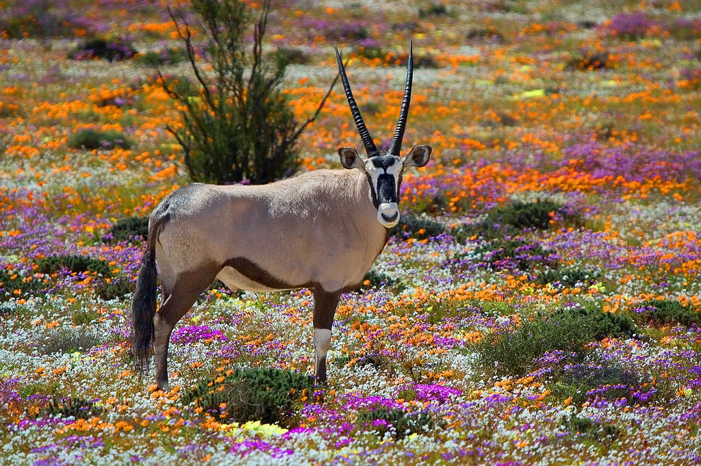 Oryx and wildflowers in Namaqualand