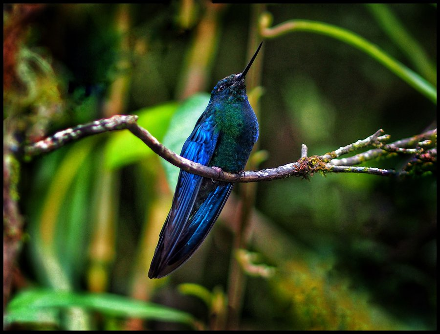 Colorful hummingbird in Ecuadorian forest