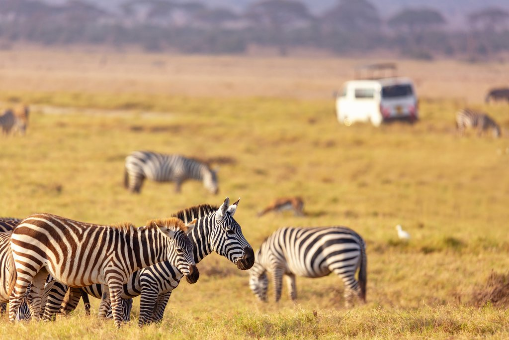 Zebras grazing in Kenya