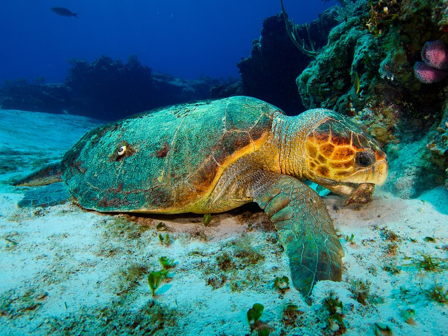 Marine turtle in Red Sea, Aqaba