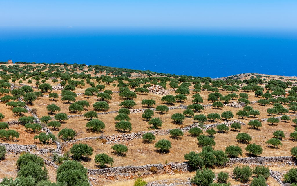Cretan olive plantation