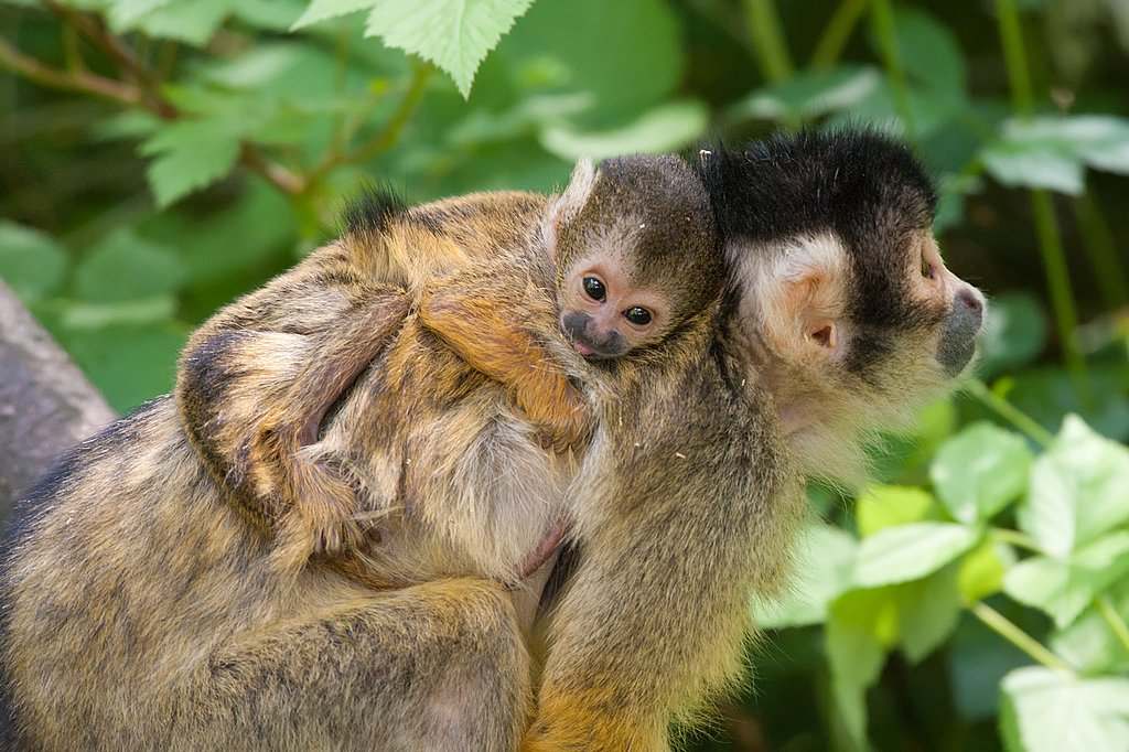 Baby squirrel monkey and mother