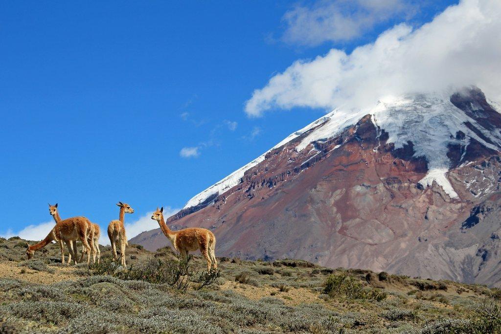 Vicuñas in front of Mount Chimborazo