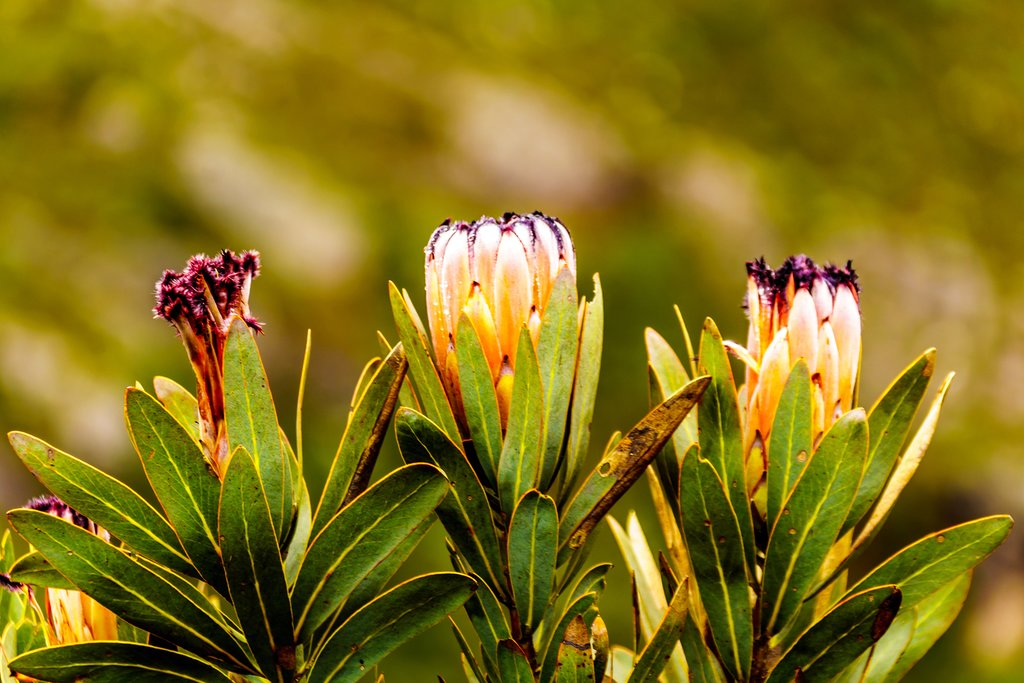 Protea flowers in bloom
